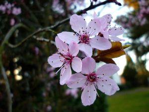 japanse-kerselaar-in-bloei